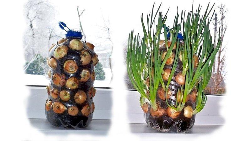 3. Использование проросшего лука еда, овощи и фрукты, продукты, советы, храним правильно