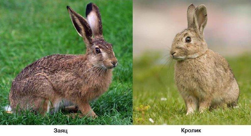Чем заяц отличается от кролика? вопрос, ответ., хочу все знать