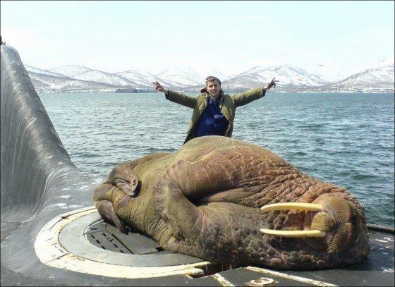 15. Морж на подводной лодке фигура неприкосновенная. Пусть спит. действительность, медведи, россия, русский, фото, экстрим
