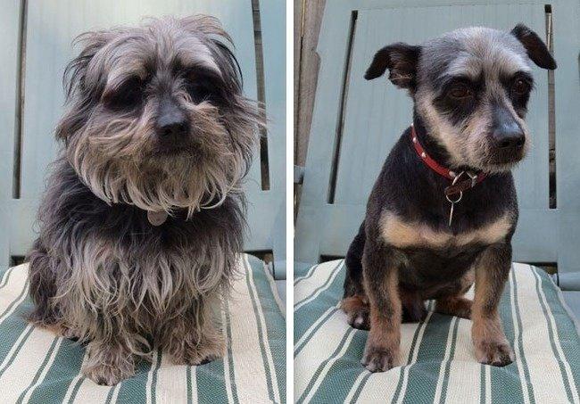 20 лохматых собак преобразившихся после стрижки до и после, домашний питомец, животные, собака, стрижка