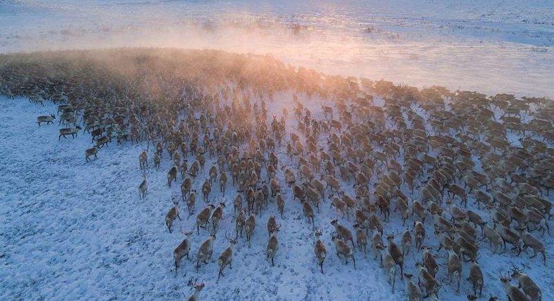 Каждую весну северные олени и арктические карибу совершают миграцию из тайги к северной тундре Канады животные, канада, миграция, мир, олень, природа, фотография