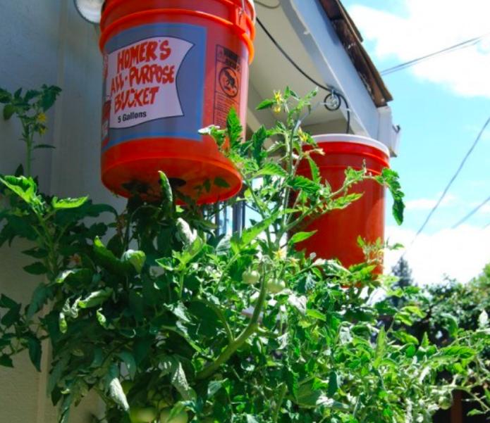 Дачникам на заметку: удивительный и простой способ выращивать помидоры на балконе дача, дачники, огородники, помидоры, рассада, способы посадки, урожай