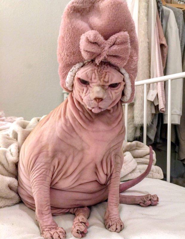 Сейчас женщина активно выкладывает снимки любимца в соцсеть Джердан, Популярность, животные, кот, соцсеть, сфинкс, фото