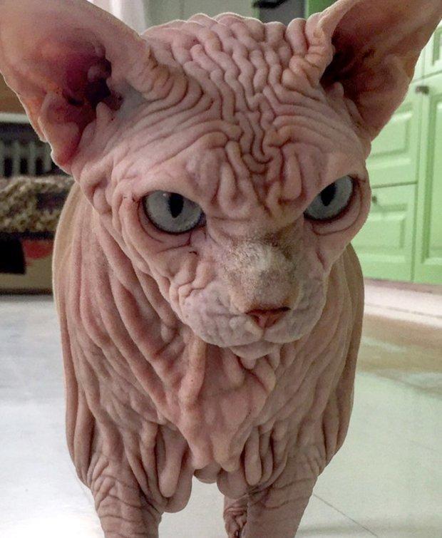45-летняя жительница Швейцарии увидела сфинкса на сайте приюта и тут же приняла решение забрать кота Джердан, Популярность, животные, кот, соцсеть, сфинкс, фото