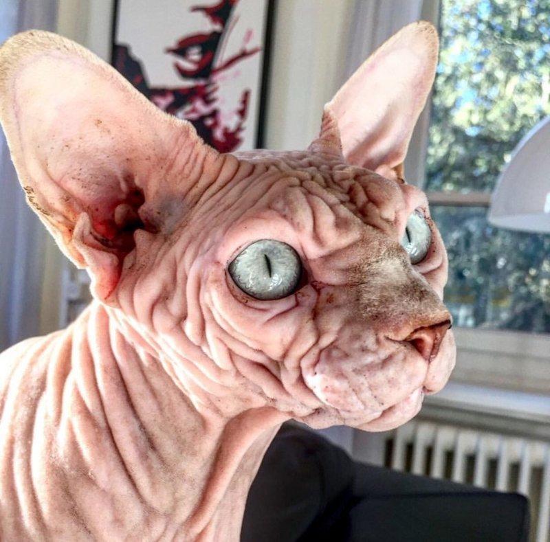Питомец с удовольствием позирует Джердан, Популярность, животные, кот, соцсеть, сфинкс, фото
