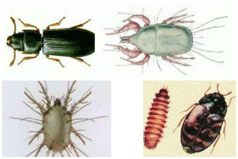 Казявка мавританская, мучной клещ, обыкновенный волосатый клещ, зерновка трагодерма интересное, насекомые, питание, продукты, содержание, факты, фекалии. крысы