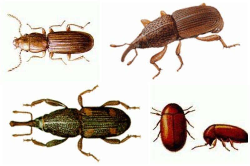 Далее нас встречают в амбаре эти товарищи. Мукоед рыжий короткоусый, амбарный долгоносик, рисовый долгоносик, табачный жук интересное, насекомые, питание, продукты, содержание, факты, фекалии. крысы