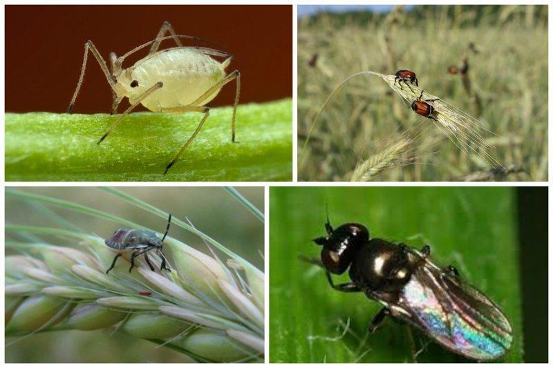Это вредители, которые начинают есть ваш будущий хлеб еще на стадии его роста - тля, жук-кузька, вредная черепашка,  ячменная шведская муха интересное, насекомые, питание, продукты, содержание, факты, фекалии. крысы