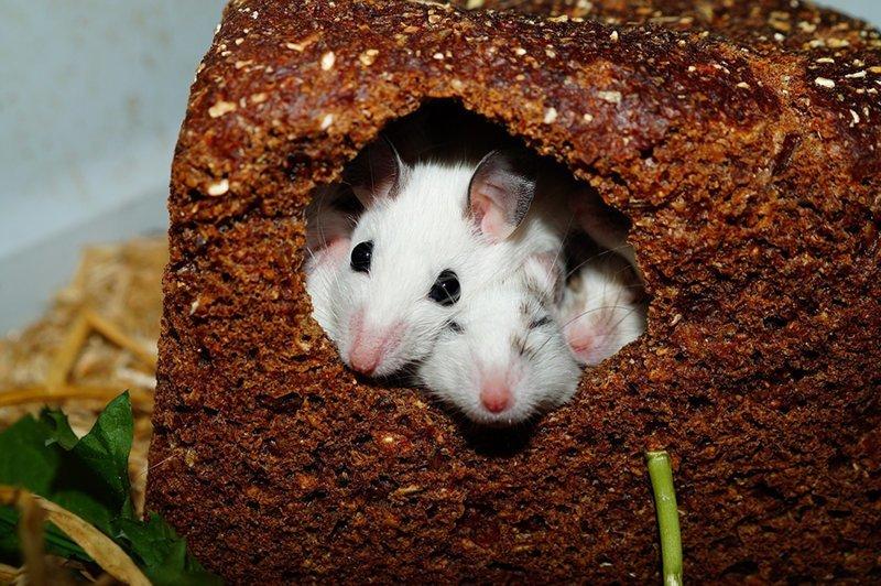 Допустимые нормы содержания посторонних примесей в продуктах интересное, насекомые, питание, продукты, содержание, факты, фекалии. крысы