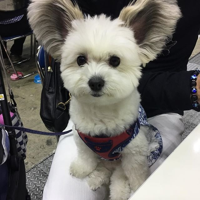 Знакомьтесь, Гома — новая звезда Инстаграм с очаровательными ушами Instagram, Гома, домашний питомец, животные, собака, щенок