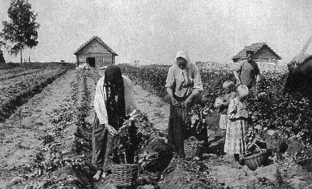Что русские выращивали в огороде до картошки история, огород, растения, факты