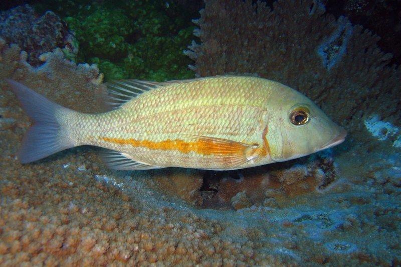 В Индонезии поймали рыбу с человеческими зубами ynews, видео, зубы, интересное, находка, рыба, удивительное