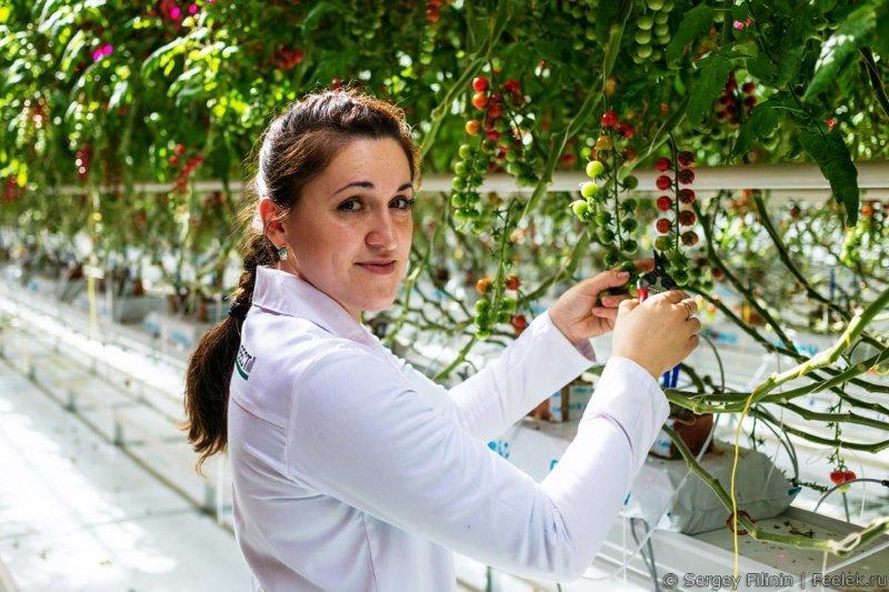 Современные теплицы, или как появляются овощи овощи, познавательно, сельское хозяйство, технология
