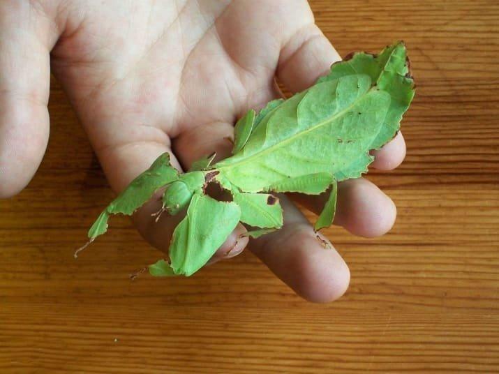 Это не листик, а насекомое - палочник-листовидка мрачно, мрачные шутки, необычно, необычные картинки, необычные фотографии, природа, пугающе, фото