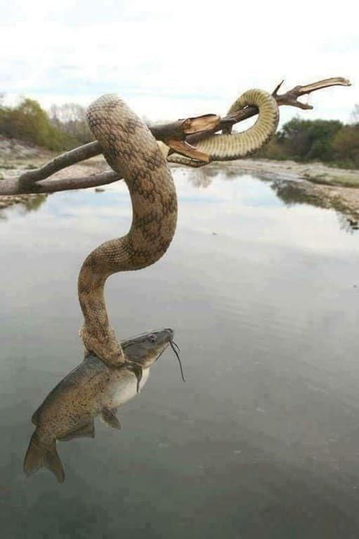 Змея - рыболов мрачно, мрачные шутки, необычно, необычные картинки, необычные фотографии, природа, пугающе, фото
