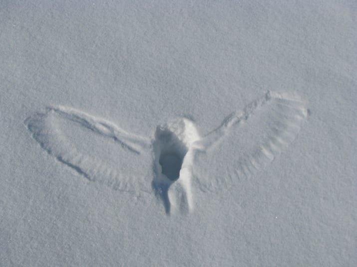 След совы, поймавшей добычу под снегом мрачно, мрачные шутки, необычно, необычные картинки, необычные фотографии, природа, пугающе, фото