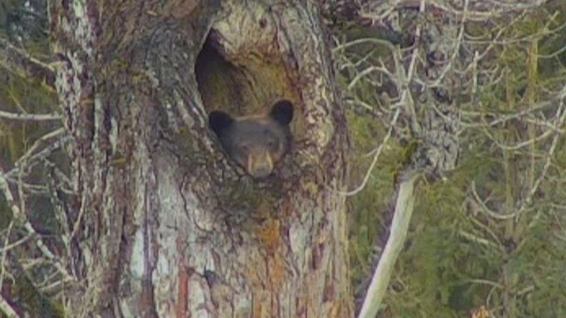Сонная медведица 2 недели не может выбраться из своего дупла в мире, видео, дупло, животные, лень, медведь, спячка