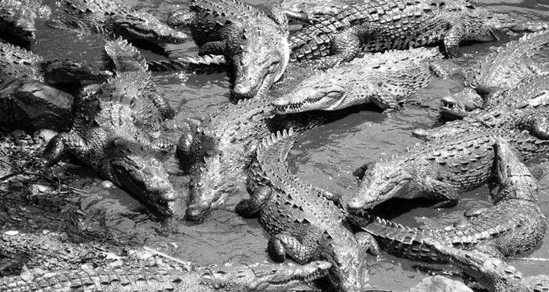 Атака крокодилов война, история, факты