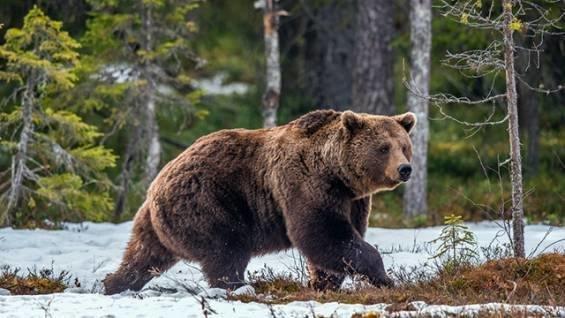 Медведь снес забор на границе Латвии, пытаясь уйти в Россию Латвии, граница, животные, забор, медведь, россия