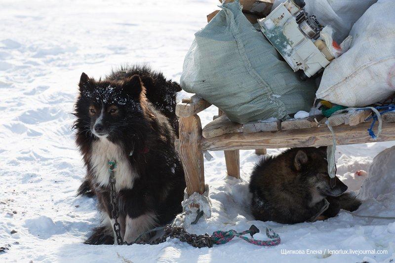 Мир, в котором нет котиков Порода, в мире, животные, лайки, оленегонные лайки, собака