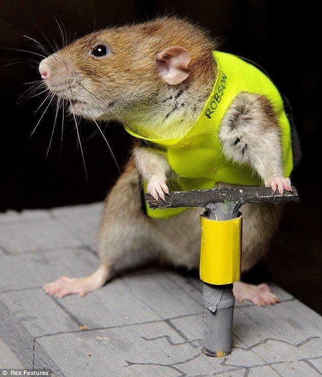 Раз первый, картинки про крыс смешные