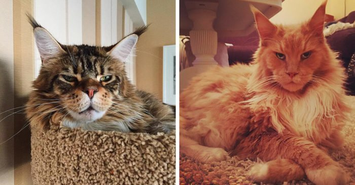 15 фотографий, которые доказывают, что у людей и мейн-кунов очень много общего Порода, домашний питомец, животные, кошки, мейн-кун