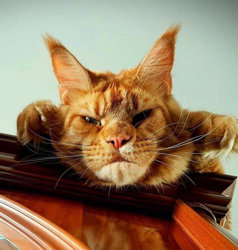 13. «Ты опять трогал мои отчёты?» Порода, домашний питомец, животные, кошки, мейн-кун