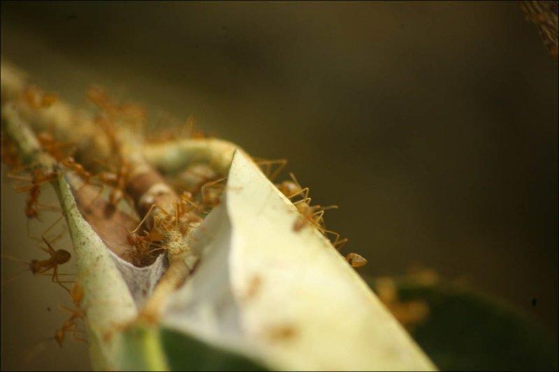 Крайне злобные муравьи Мангровый лес, в мире, земля, планета, природа, экология
