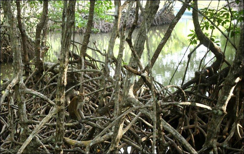 Конечно, обезьяны. Они иногда даже на мелких островах бывают Мангровый лес, в мире, земля, планета, природа, экология