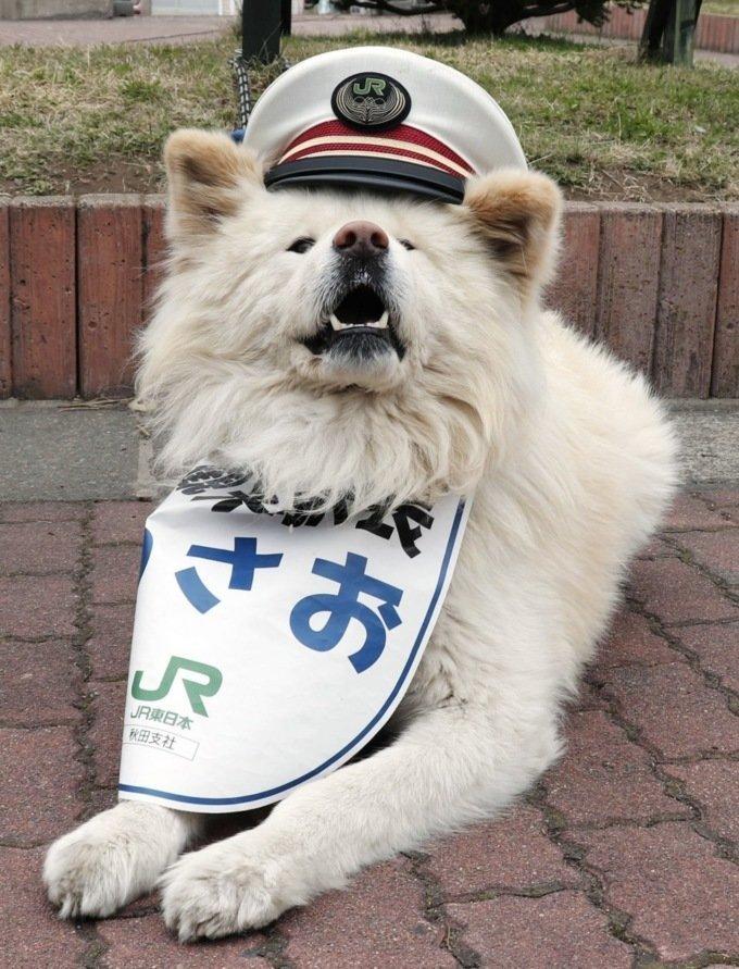 В Японии семья собак стала работниками станции ynews, интересное, милость, начальник станции, собака, станция, япония
