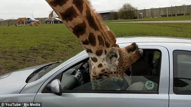 Сотрудники сафари-парка осмотрели жирафа и сообщили о том, что он не пострадал. великобритания, животные, жираф, кормежка, правила безопасности, сафари, сафари - парк, сафари парк