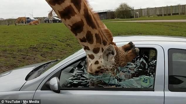 Люди в машине отделались испугом и несколькими порезами от лопнувшего стекла.  великобритания, животные, жираф, кормежка, правила безопасности, сафари, сафари - парк, сафари парк
