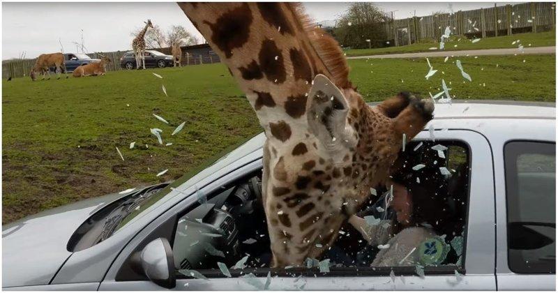 Видео: жираф в сафари-парке разбивает головой окно автомобиля великобритания, животные, жираф, кормежка, правила безопасности, сафари, сафари - парк, сафари парк