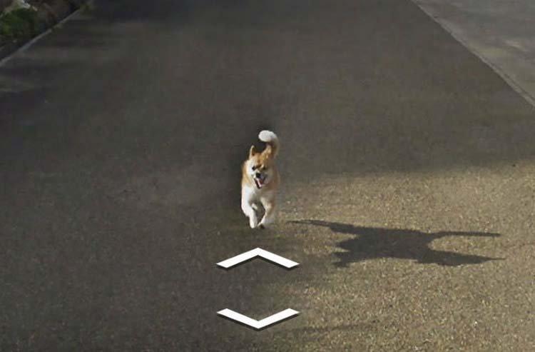 В Японии собака проследовала за автомобилем Google Street View, забавно «испортив» каждую сделанную им фотографию  google street view, животные, кадр, собака, юмор