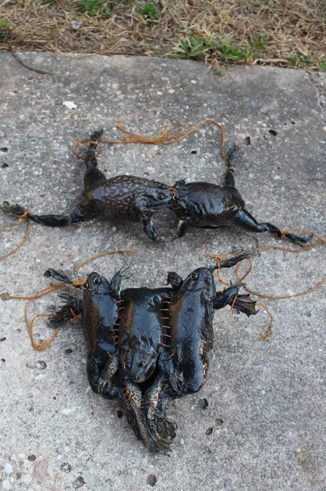 Американка сшила купальник из мертвых лягушек Fabiana LaFleur, ynews, бикини, дизайн, странные вещи, таксидермия