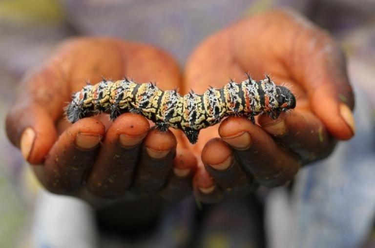 8. Гусеница мопане - Африка блюда, в мире, деликатесы, еда, национальная кухня, путешествия, разные страны, фото
