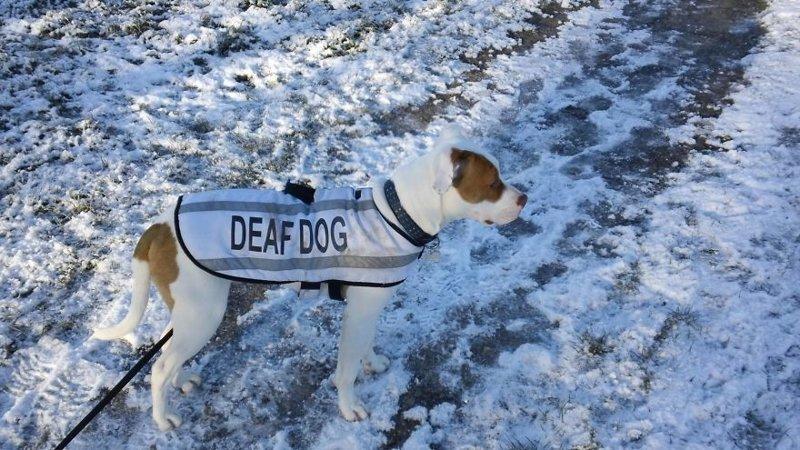 В декабре прошлого года Ивор наконец обрёл дом. Его новая хозяйка - Элли Бромилоу, сразу влюбилась в него, несмотря на его особенность глухой, животные, истории, питомцы, пёс, собака, собаки, спасение
