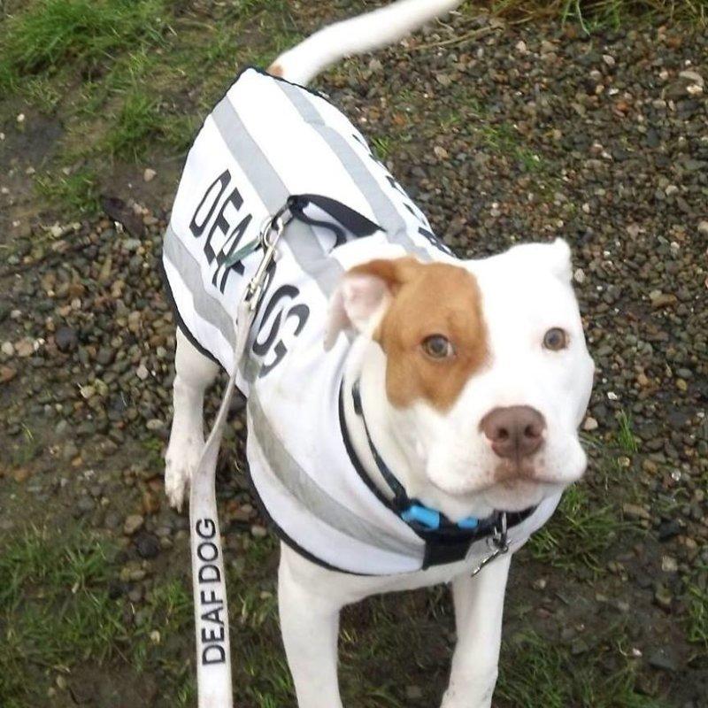 Ивор - замечательный пёс. Он любит ходить на прогулки и у него отличное обоняние. Хозяева часто устраивают для него игры, пряча по дому вкусности. глухой, животные, истории, питомцы, пёс, собака, собаки, спасение
