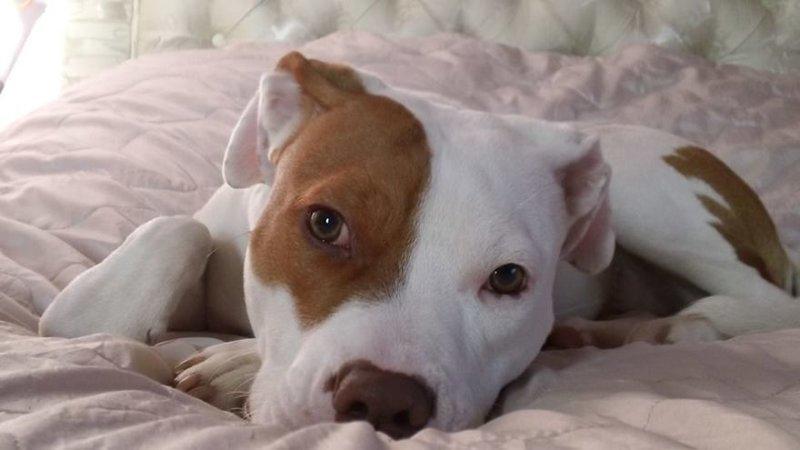 В возрасте 10 месяцев глухой стаффордширский терьер по кличке Ивор попал в RSPCA (Королевское общество по предотвращению жестокого обращения с животными). глухой, животные, истории, питомцы, пёс, собака, собаки, спасение