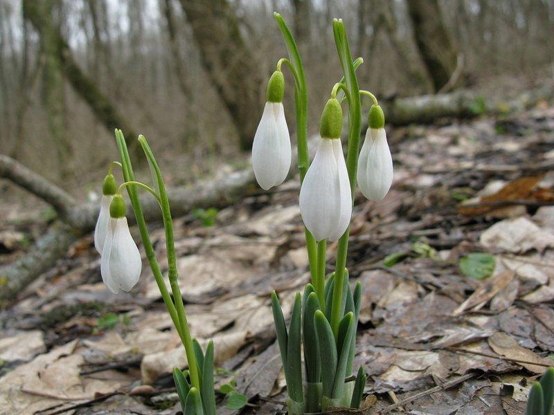 Пусть в вашей жизни встречаются только такие подснежники! весна, вскрывает, интересное, подснежник, факты