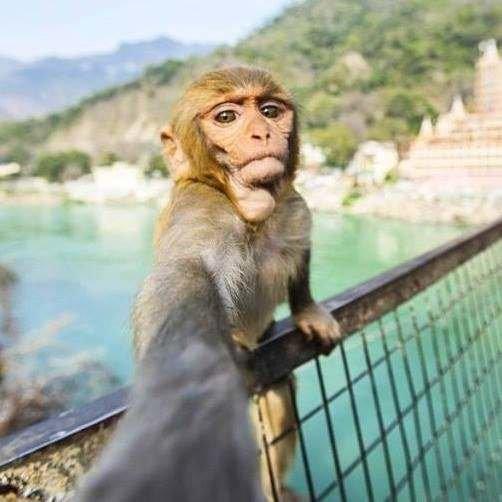 18. Лягу... обезьянка-путешественница животные, забавно, подборка, прикол, селфи, юмор