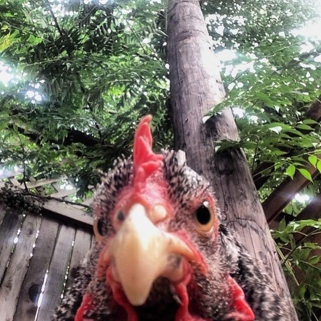 24. Очень злой цыпленок животные, забавно, подборка, прикол, селфи, юмор