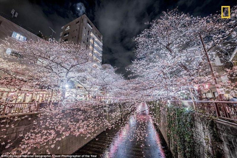 Цветущая сакура в свете иллюминации, район Накамегуро, Токио. Хироки Иноуэ, Япония National Geographic Travel, National Geographic Traveler, national geograhic, лучшие фото года, лучшие фотографии, путешествия, фотоконкурс, фотоконкурсы. природа