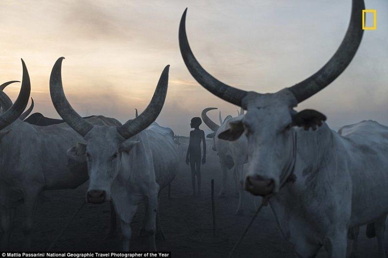 Стадо крупного рогатого скота племени Мундари, Южный Судан. Маттиа Пассарини, Китай National Geographic Travel, National Geographic Traveler, national geograhic, лучшие фото года, лучшие фотографии, путешествия, фотоконкурс, фотоконкурсы. природа