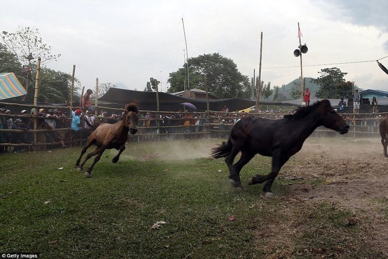 Неоправданная жестокость: лошадиные бои бои, жестокость, животные, лошади, лошадиные бои, ужас, фото
