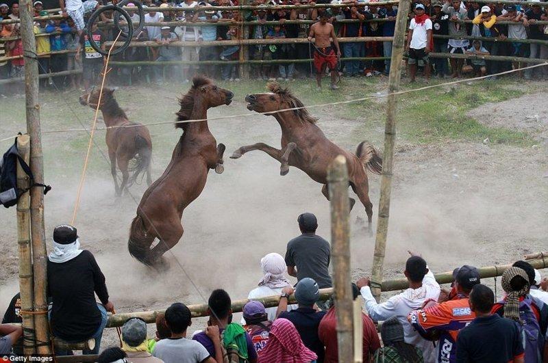 """Не только Филиппины славятся таким """"зрелищем"""", но и в Китае тоже проводят такие бои бои, жестокость, животные, лошади, лошадиные бои, ужас, фото"""