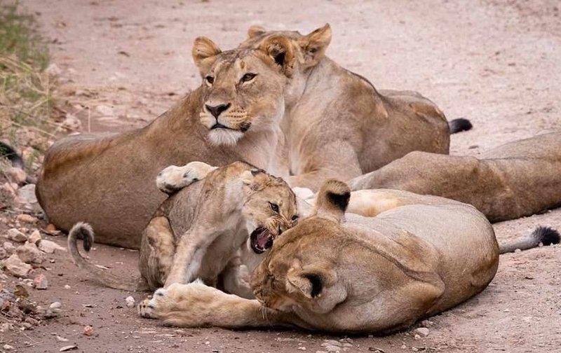 Мама, не съешь меня! Львица затеяла опасную игру со своим детенышем голова в пасти, животные, львенок, львица, львы, необычно, редкое фото, странная игра