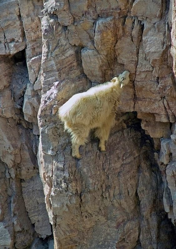 Шуба снежной козы позволяет животному выдерживать температуры до -50ºС да еще и с ветром до 150 км/ч горные козлы, животные, удивительное, чудо. скалы