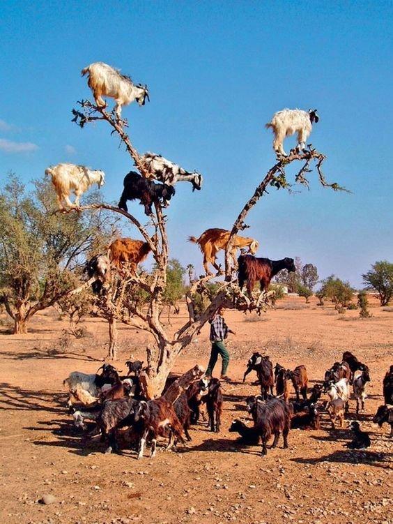 На юго-востоке Марокко домашние козы лазают даже по деревьям аргании, чтобы пожрать ее плоды, причем добираются до самых верхних веток горные козлы, животные, удивительное, чудо. скалы