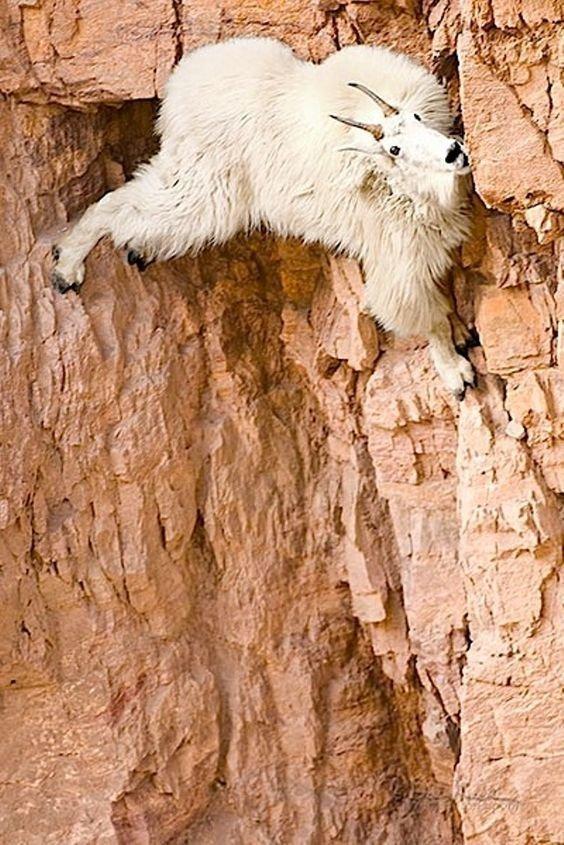 Проводя всю жизнь в лазании по горам, горные козлы достигают в этом невероятной виртуозности, превосходя в скалолазательном мастерстве многих других животных, кажущихся более для этого приспособленными горные козлы, животные, удивительное, чудо. скалы